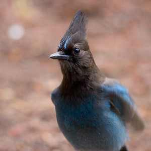 A Stellar's Jay that kept lingering around our campsite in Yosemite.