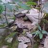 The poisonous snake La Gran Sabana, Venezuela