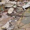 Poisonous snake in La Gran Sabana, Venezuela