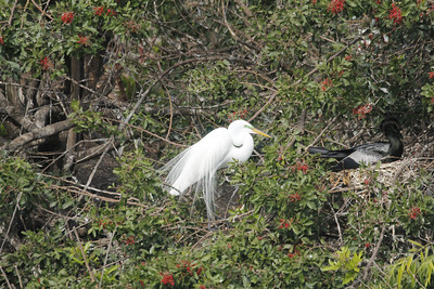 Great Egret and anhinga