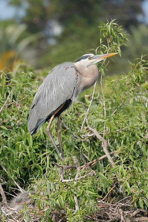 Both male and female incubate the eggs. The heron turns the eggs with its bill once about every two hours to keep the eggs evenly warm.