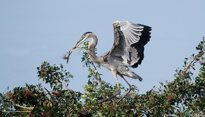Great Blue Heron bringing something for the nest
