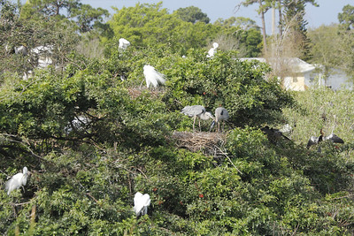 nesting birds at the Rookery in Venice, Florida
