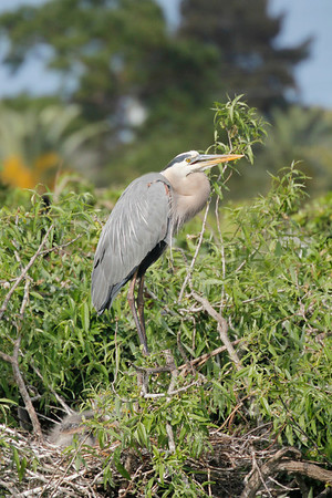 during breeding season, the Great Blue Heron's bill and lower legs change from yellow to orange and the area around the bill turns a bright blue