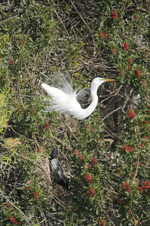Great Egret with breeding plummage