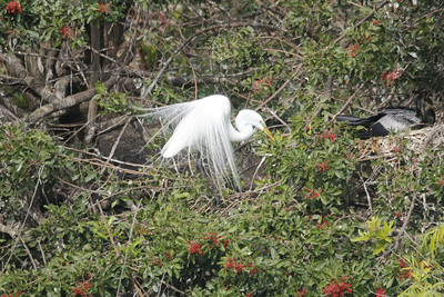 Great Egret with breeding plummage -  their legs turn a pale greenish-gray and the area above their beak turns greenish  - anhinga on right