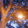 "<span id=""title"">Fig Tree</span>"