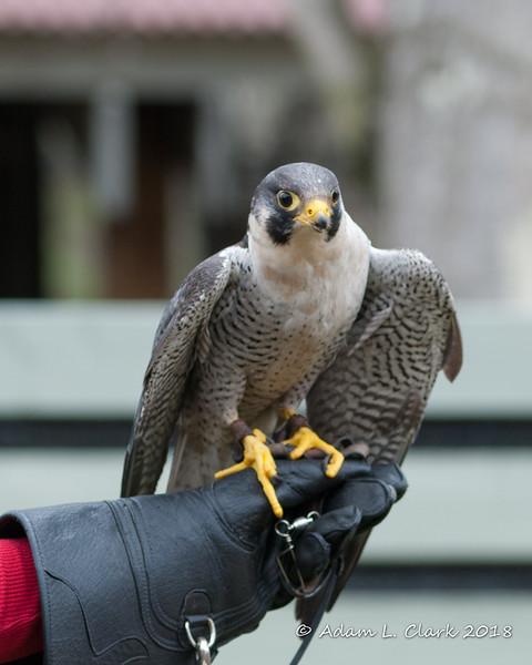 Peregrine Falcon demonstration