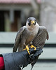 Peregrine Falcon demonstration