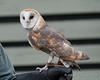 Barn Owl demonstration