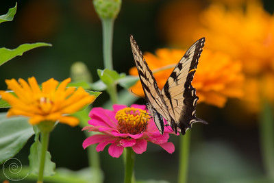 Butterfly on Flowers at the Spring Valley Nature Sanctuary, Schaumburg, Illinois