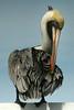 Adult Brown Pelican