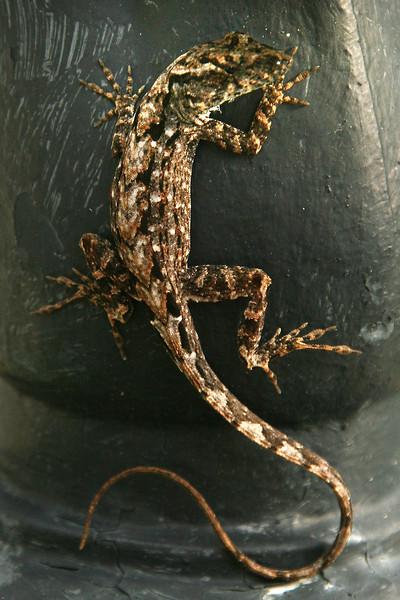 Visiting Lizard