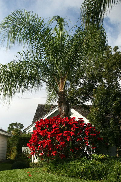 Can you believe this is a poinsettia bush!