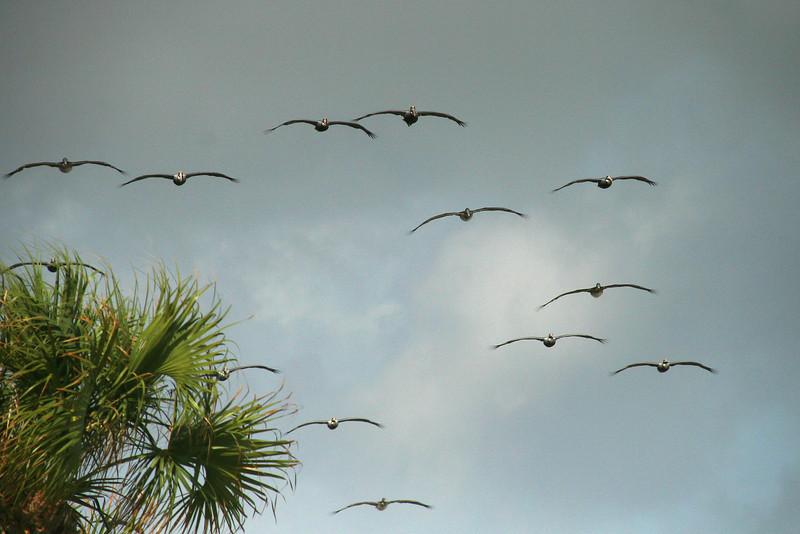 The Pelican Squadron