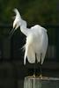 Windblown Snowy Egret