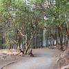 Thetis Lake - Arbutus Tree