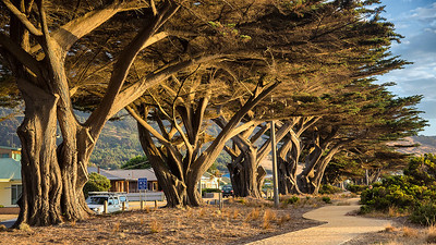 Trees along Apollo Bay