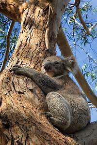 Wild Koala on GOR