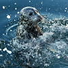 Seal Slapping Water for Fish