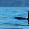 Orca Swimming Away
