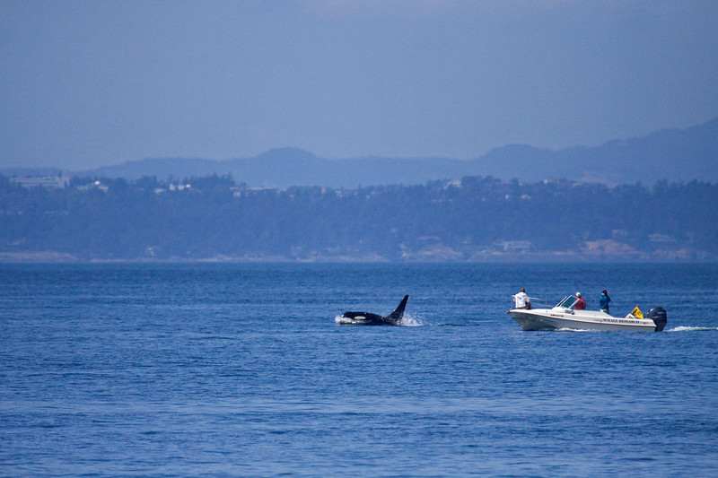 Whale vs. Boat<br /> Gives the size perspective of the orca (killer) whales we saw