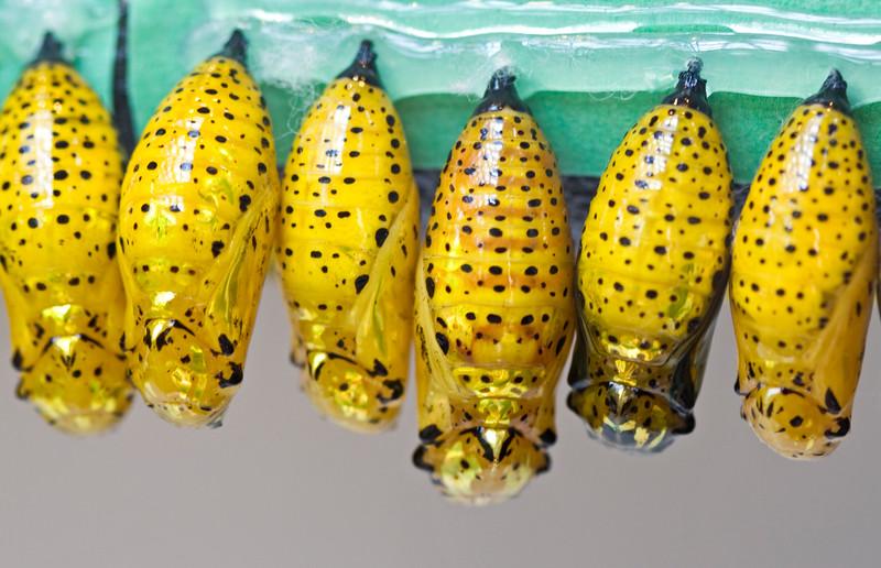 Yellow crysallis