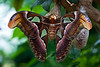 Butterfly Garden in Victoria, B.C.<br /> Atlas moth: the largest moth in the world, they can stay in a cocoon up to 5 years, then they live up to 5 days after emerging.
