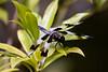 Twelve-spotted Skimmer<br /> Butchart Gardens, Victoria, Canada