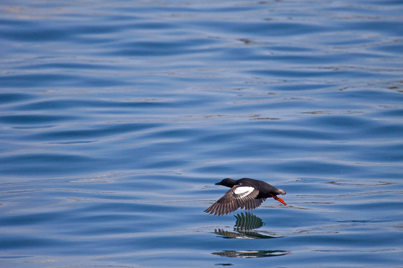 Upon Reflection<br /> I was so fascinated with the pigeon guillemots and their little red feet!