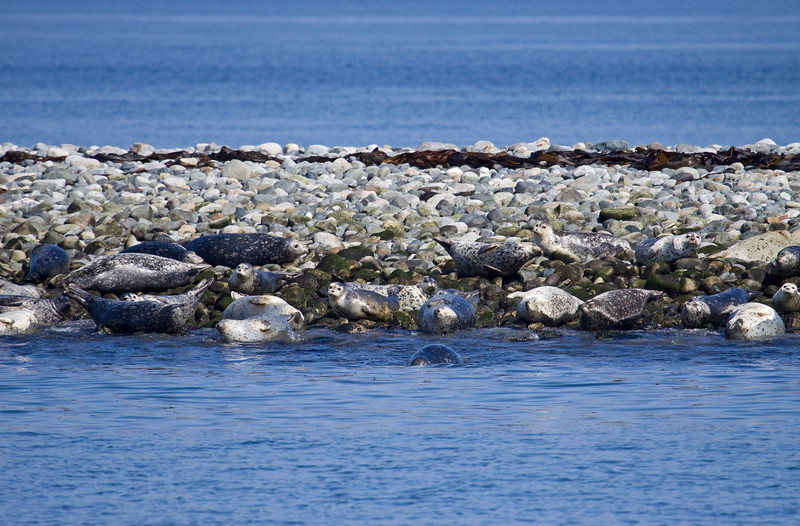 Smith Island is a long narrow rock island in the middle of the Straits of Juan de Fuco.  These seals hang out there.