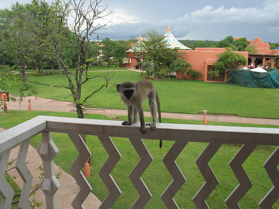 One of several Green Monkey visitors on our balcony which happened to be next to their favorite tree.