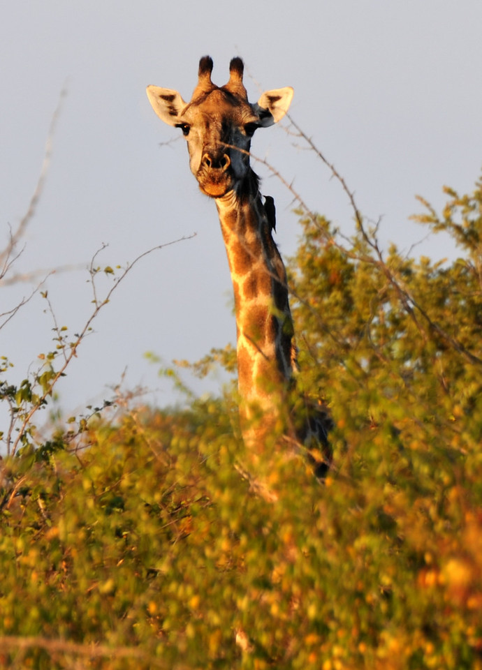 Zambezi National Park - Giraffe