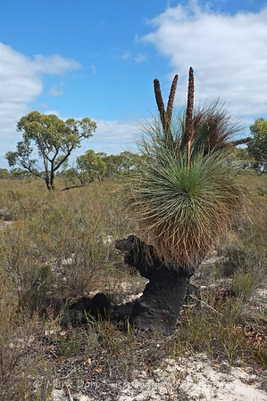Grass Tree, Little Desert, Victoria