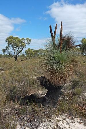 Grass Tree, Little Desert, Victoria