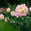 Roses<br /> Volksgarten - the rose park