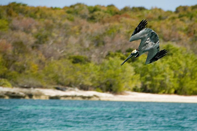 pelican_diving