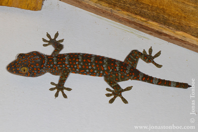 Tokay Gecko in Jungle Tent Bathroom