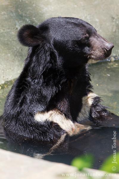 Asian Black Bear aka Moon Bear