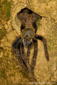 Phong Nha-Ke Bang National Park. Tarantula
