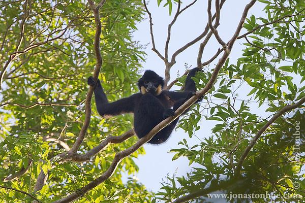 Cat Tien National Park. Yellow-cheeked Gibbon (Nomascus gabriellae)