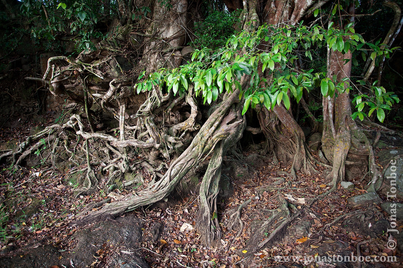 Tree Roots in Rainforest