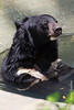 Asian Black Bear aka Moon Bear