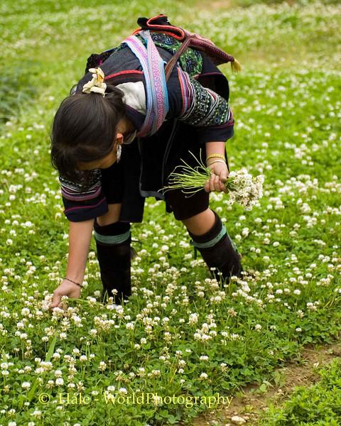 Hmong Girl Picking Clover to Braid a Wreath, Sapa Vietnam