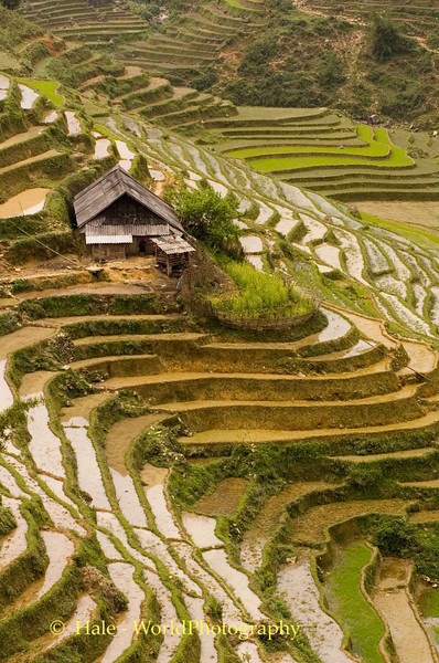Flooded Rice Paddies, Sapa Vietnam