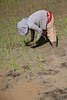 Planting rice the old fashioned way.  Is your back hurting yet?  After watching for a few seconds, mine did.