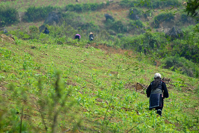 © Joseph Dougherty. All rights reserved.   Black H'mong woman tilling soil among her young corn plants on a hillside farm plot in the Muong Hoa Valley.