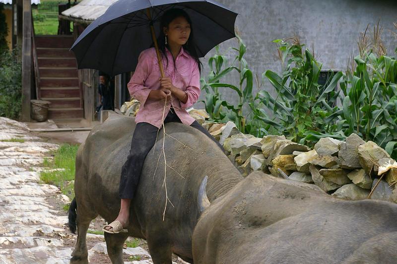 Sapa girl rides oxen.