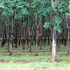 Rubber plantation on the way to Khe Sanh.