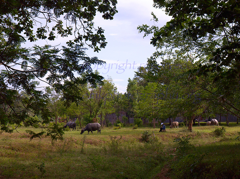 Vietnam cows grazing in meadow<br /> <br /> Not to be reproduced in any form without written permission from emkphotography.org
